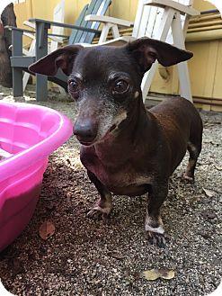 Dachshund Mix Dog for adoption in North Hollywood, California - Monty