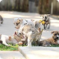 Adopt A Pet :: Peyton - Mission Viejo, CA