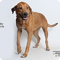Adopt A Pet :: Bailey - Baton Rouge, LA