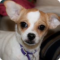 Adopt A Pet :: Little T - Redondo Beach, CA