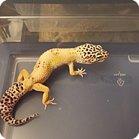 Adopt A Pet :: Number Five, a leopard gecko - Bristow, VA