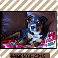 Adopt A Pet :: Cameron - Harrisonburg, VA
