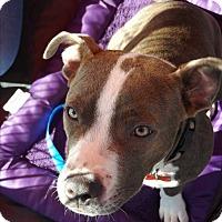 Adopt A Pet :: Brindle - Oakley, CA