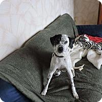 Adopt A Pet :: Pitoune - Laval, QC