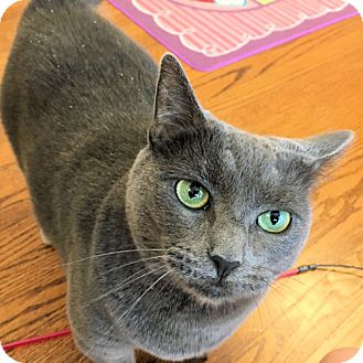 Domestic Shorthair Cat for adoption in Williston Park, New York - Tia
