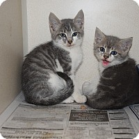 Adopt A Pet :: kittens - Pottsville, PA