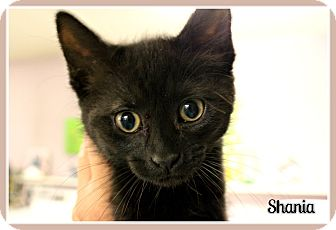 Domestic Shorthair Kitten for adoption in New Richmond,, Wisconsin - Shania