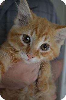 Domestic Shorthair Kitten for adoption in Danbury, Connecticut - Zeus