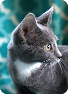 Russian Blue Kitten for adoption in Hagerstown, Maryland - Gail
