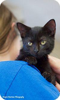 Domestic Shorthair Kitten for adoption in Huntsville, Alabama - Onyx