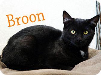 American Shorthair Cat for adoption in Hamilton, Montana - Broon