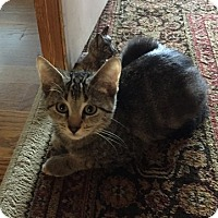 Domestic Shorthair Kitten for adoption in Toledo, Ohio - Scorpion