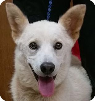 Husky Mix Dog for adoption in Bloomington, Illinois - Denver