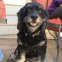 Poodle (Miniature)/Cocker Spaniel Mix Dog for adoption in Acworth, Georgia - Skipper