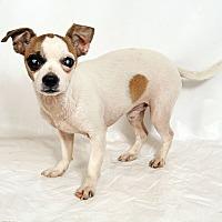 Adopt A Pet :: Flynn Chi - St. Louis, MO
