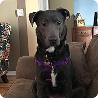 Adopt A Pet :: Smidgeon - Naperville, IL