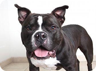 American Pit Bull Terrier Dog for adoption in Edina, Minnesota - Tonka D161350