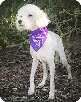 Poodle (Miniature) Dog for adoption in North Palm Beach, Florida - Duffy