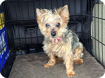 Yorkie, Yorkshire Terrier Dog for adoption in The Villages, Florida - Sophia