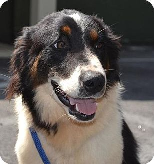 Alfie | Adopted Dog | Stafford Springs, CT | Border Collie ...