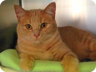 Domestic Shorthair Cat for adoption in Topeka, Kansas - Curry