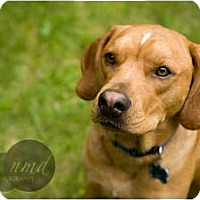 Adopt A Pet :: Brownie - in Maine! - kennebunkport, ME