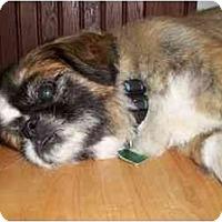 Adopt A Pet :: Niko-VA - Suffolk, VA
