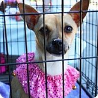 Adopt A Pet :: Lappi Cheeze - Houston, TX