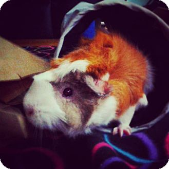 Guinea Pig for adoption in St. Paul, Minnesota - Canoe
