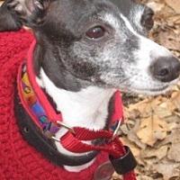 Adopt A Pet :: Italian Greyhound - Croton, NY