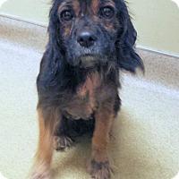 Adopt A Pet :: Angie - Sugarland, TX