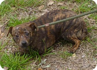 Terrier (Unknown Type, Medium) Mix Dog for adoption in Livingston, Texas - Brodie