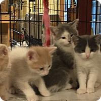 Adopt A Pet :: Bimini - Ortonville, MI