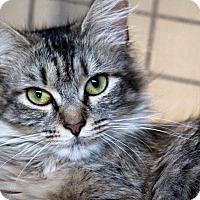 Adopt A Pet :: Poof - Sarasota, FL