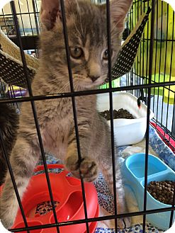 Domestic Shorthair Kitten for adoption in Clay, New York - More Kittens