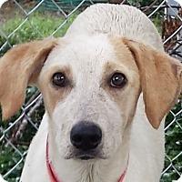 Labrador Retriever Mix Puppy for adoption in Preston, Connecticut - Ester AD 10-08-16