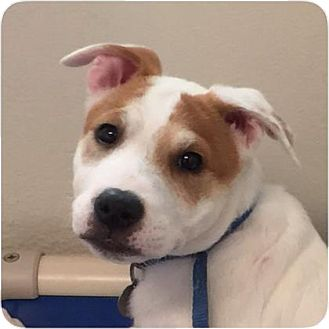 Shepherd (Unknown Type) Mix Puppy for adoption in Ithaca, New York - Snugglebuns