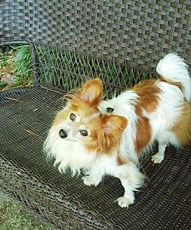 Papillon Dog for adoption in Marietta, Georgia - Renny (in GA)