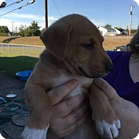 Border Collie/Hound (Unknown Type) Mix Puppy for adoption in Gilbertsville, Pennsylvania - Tobias