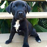 Terrier (Unknown Type, Medium)/Labrador Retriever Mix Puppy for adoption in Alpharetta, Georgia - Dashi