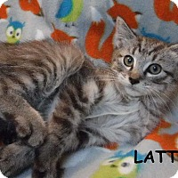 Domestic Shorthair Kitten for adoption in Batesville, Arkansas - Latte
