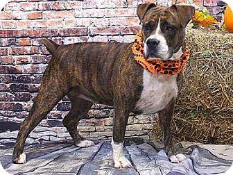 American Bulldog Mix Dog for adoption in Sanford, Florida - LOBBY