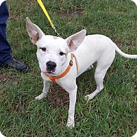 Terrier (Unknown Type, Medium) Mix Dog for adoption in Detroit, Michigan - Bunny - Foster Needed