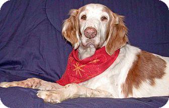 Brittany Dog for adoption in Buffalo, New York - Clara