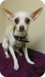 Chihuahua Dog for adoption in Gary, Indiana - Chloe