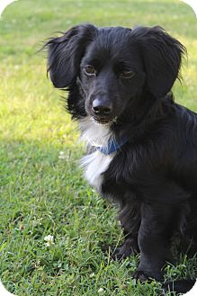 Dachshund/Cavalier King Charles Spaniel Mix Dog for adoption in Hamburg, Pennsylvania - Skipper