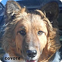 Adopt A Pet :: Coyote - Arenas Valley, NM