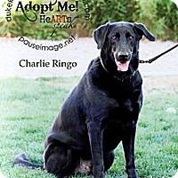 Adopt A Pet :: Charlie Ringo - Scottsdale, AZ