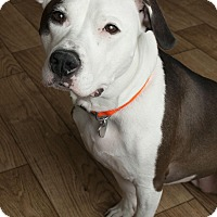 Pit Bull Terrier Mix Dog for adoption in Minnetonka, Minnesota - Leeloo