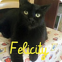 Domestic Shorthair Cat for adoption in Grand Blanc, Michigan - Felicity